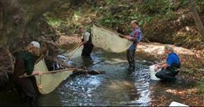 Biologists collect some of the last remaining wild coho salmon from Green Valley Creek, in the Russian River watershed, on September 11, 2001 to prevent local extinction.