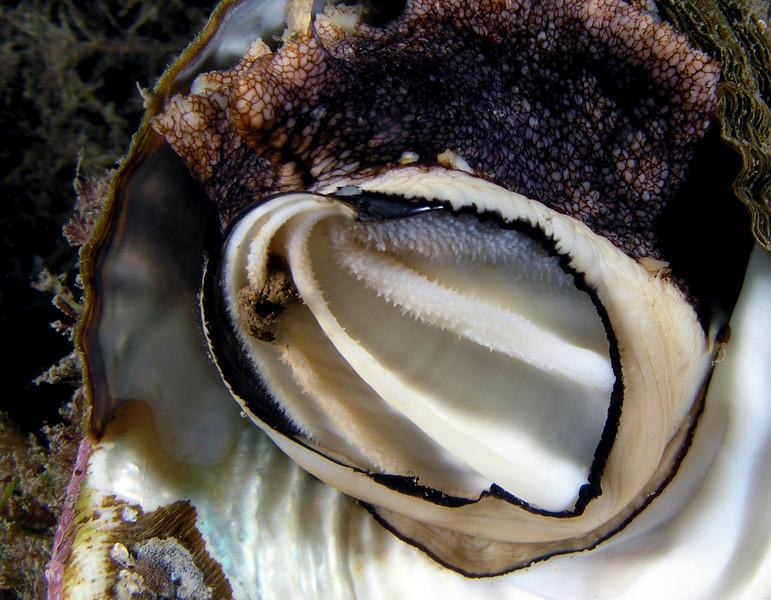 turban_snail