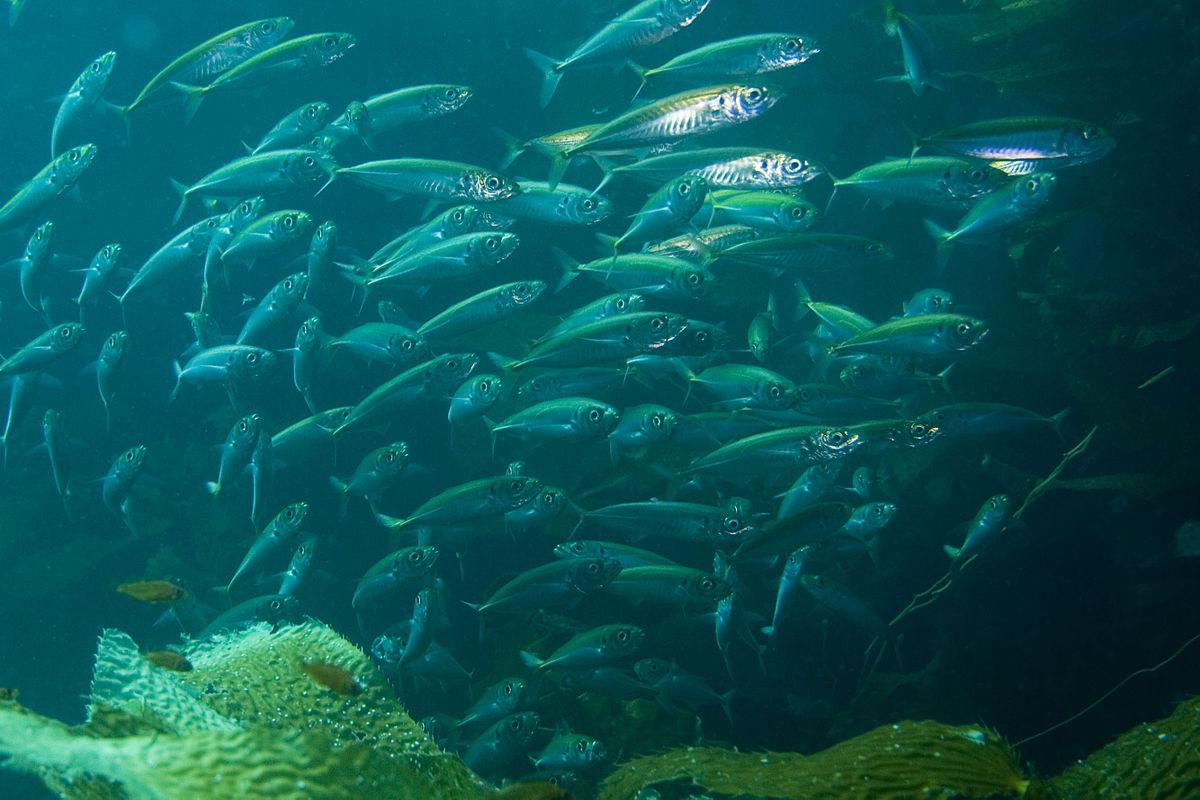 pacific_mackerel