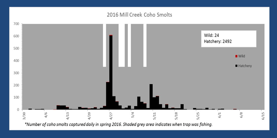 Number of smolts captured in the Mill Creek smolt trap in spring 2016