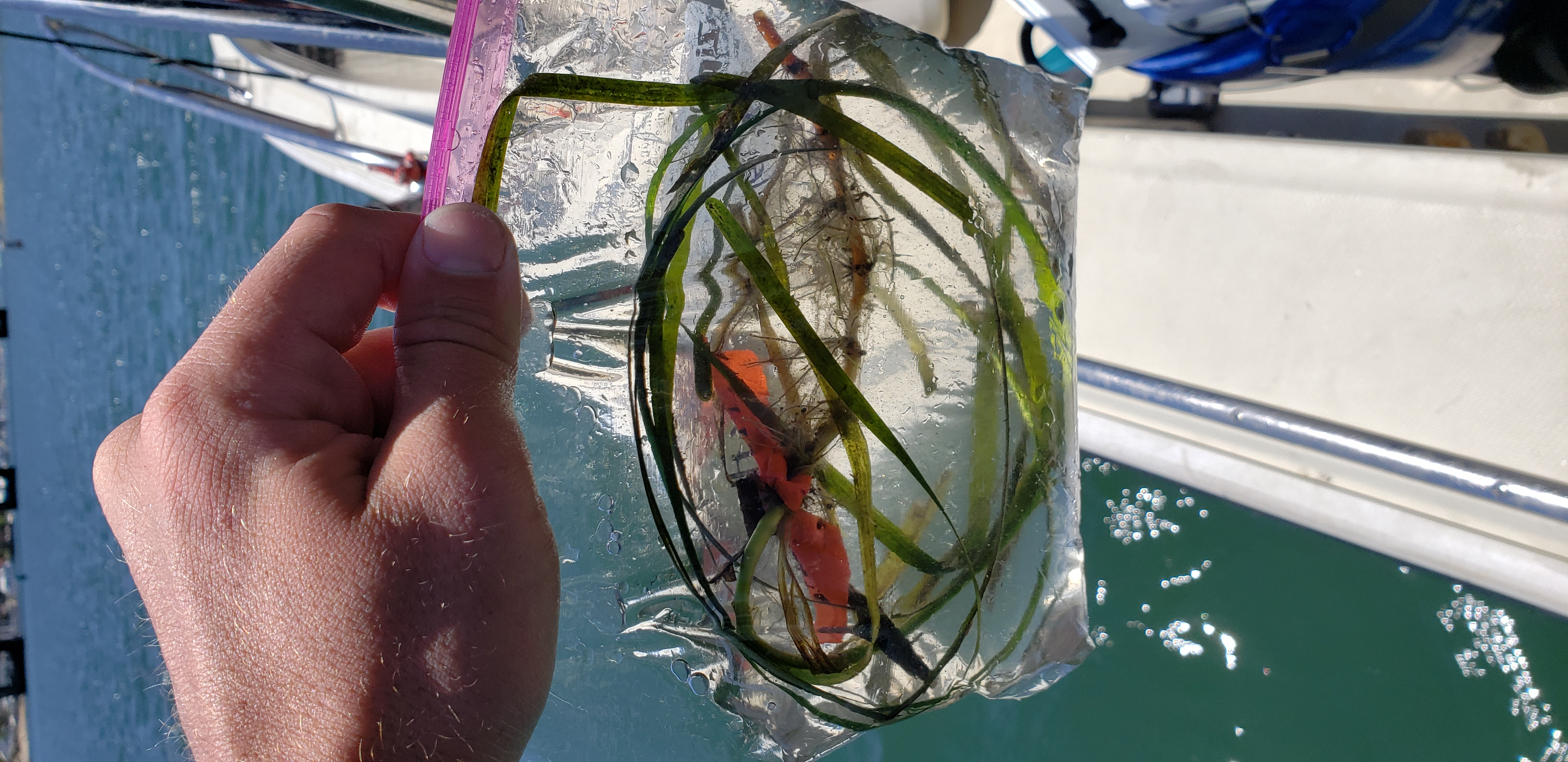 Sample of eelgrass