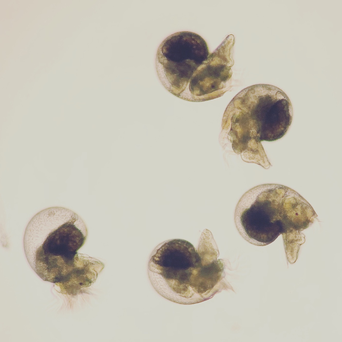 abalone larvae