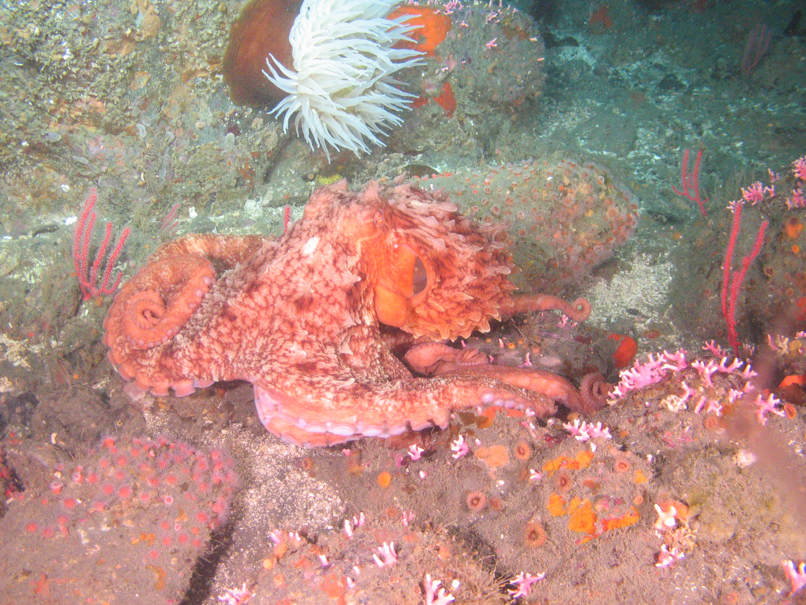 A giant Pacific octopus was observed near Point Arena SMR.