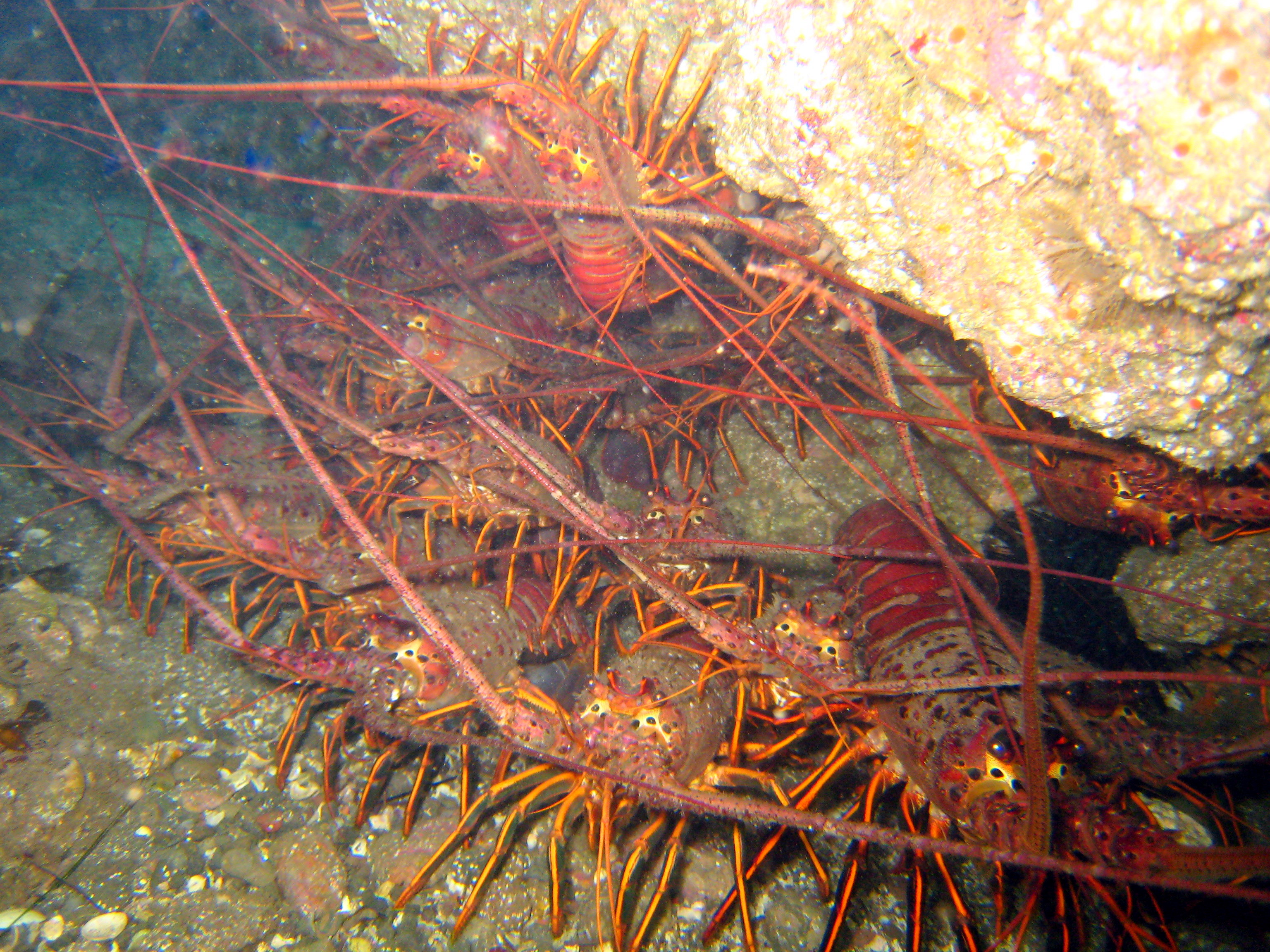 many spiny lobsters under a crevice