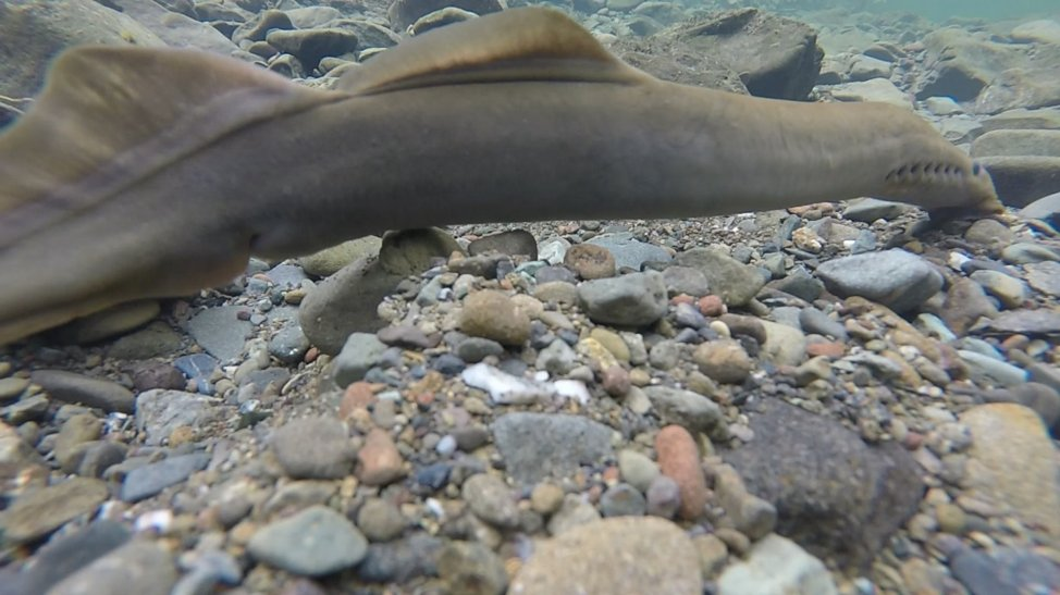 Although salmon and steelhead are the focus of these spawner surveys, we observe a wide array of other species, like the Pacific Lamprey pictured above.