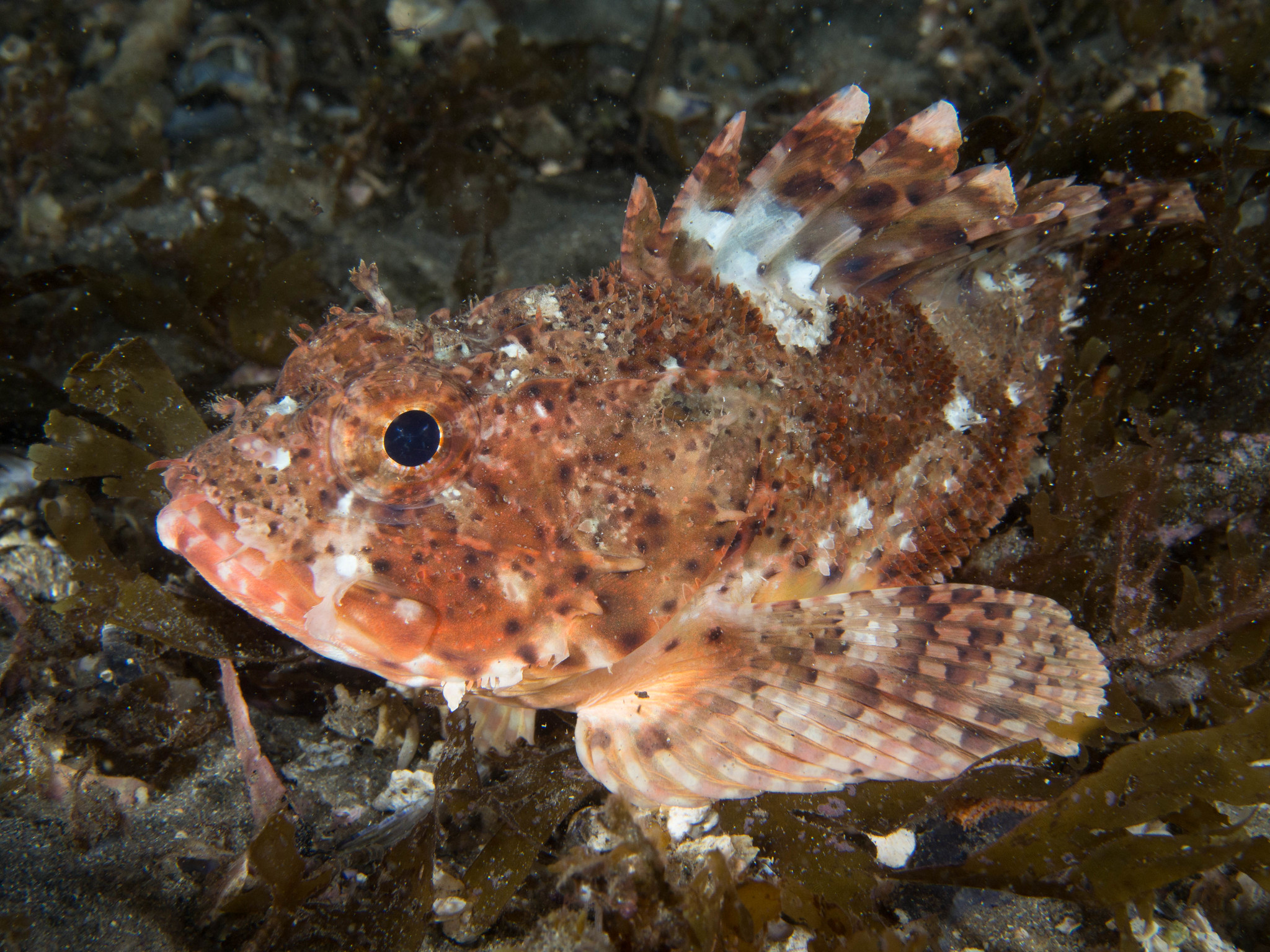 scorpionfish resting on sea floor