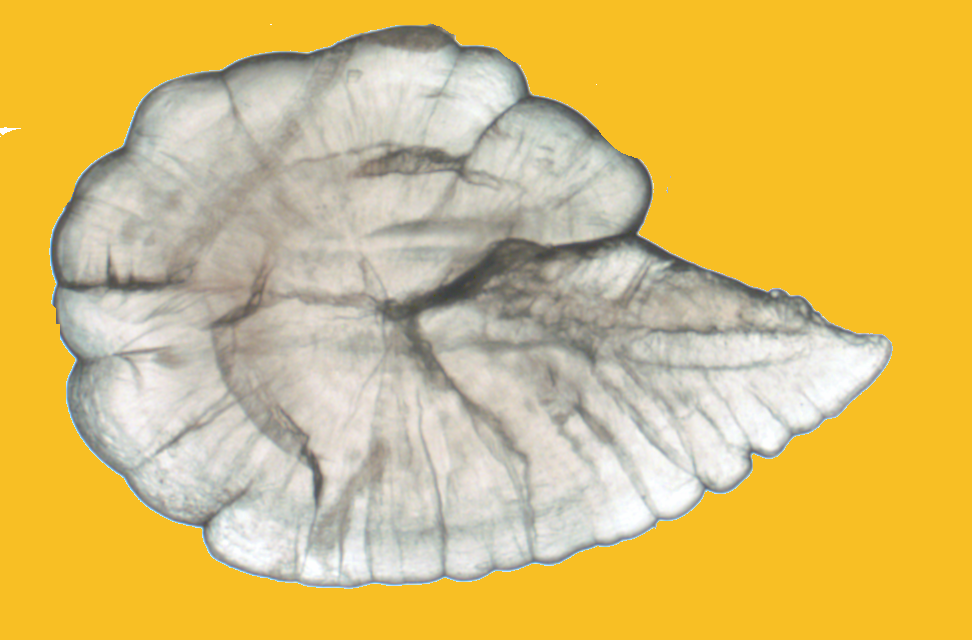 A whole otolith in the sagittal plane. The dorsal lobe (top) is the most consistent region used for otolith age and chemical analysis.