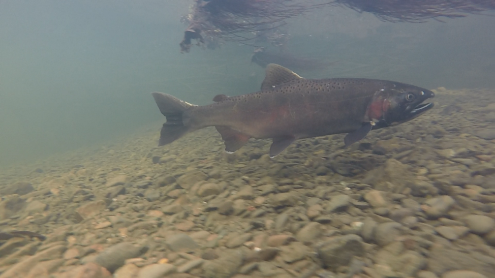 This male coho salmon (2-year old) was observed during a late season spawner survey.  Note the black mouth and white gum lines, which is a main identification marker for coho salmon.