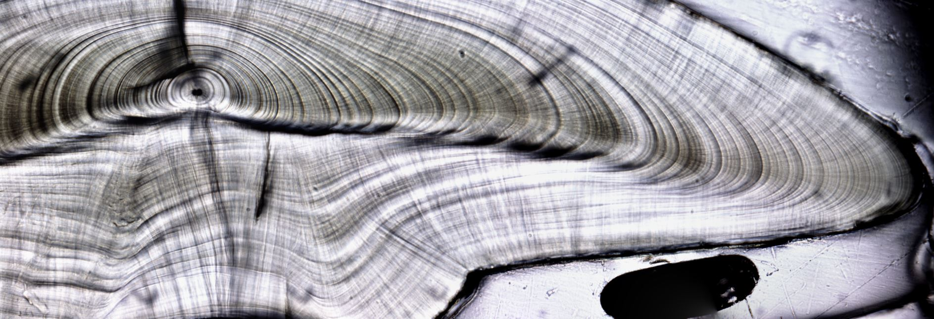 A cross-section of a Longfin Smelt otolith. Due to otolith curvature that develops in larger fish, juvenile and adult Longfin Smelt are mounted and cut in the transverse plane using a diamond-tipped jeweler's saw prior to age and chemical analysis.