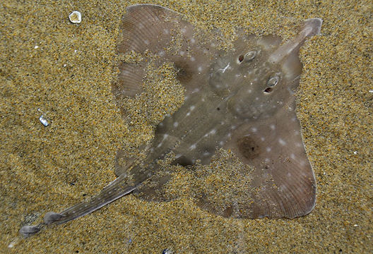 Big skate partially buried under sand