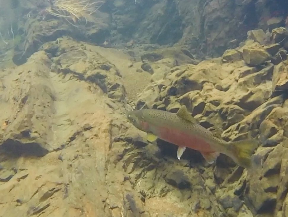 A 2-year old coho salmon waits at the bottom of a deep cold pool for the rest of the creek to become passable.