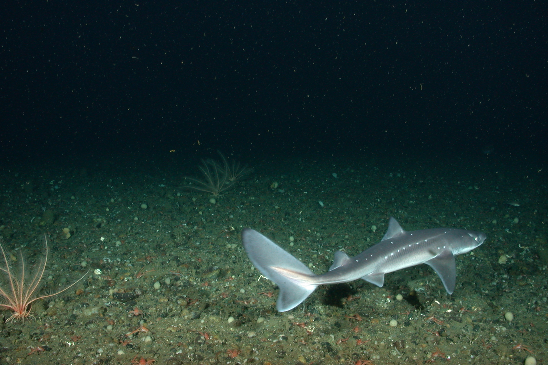 Pacific spiny dogfish swimming along ocean floor