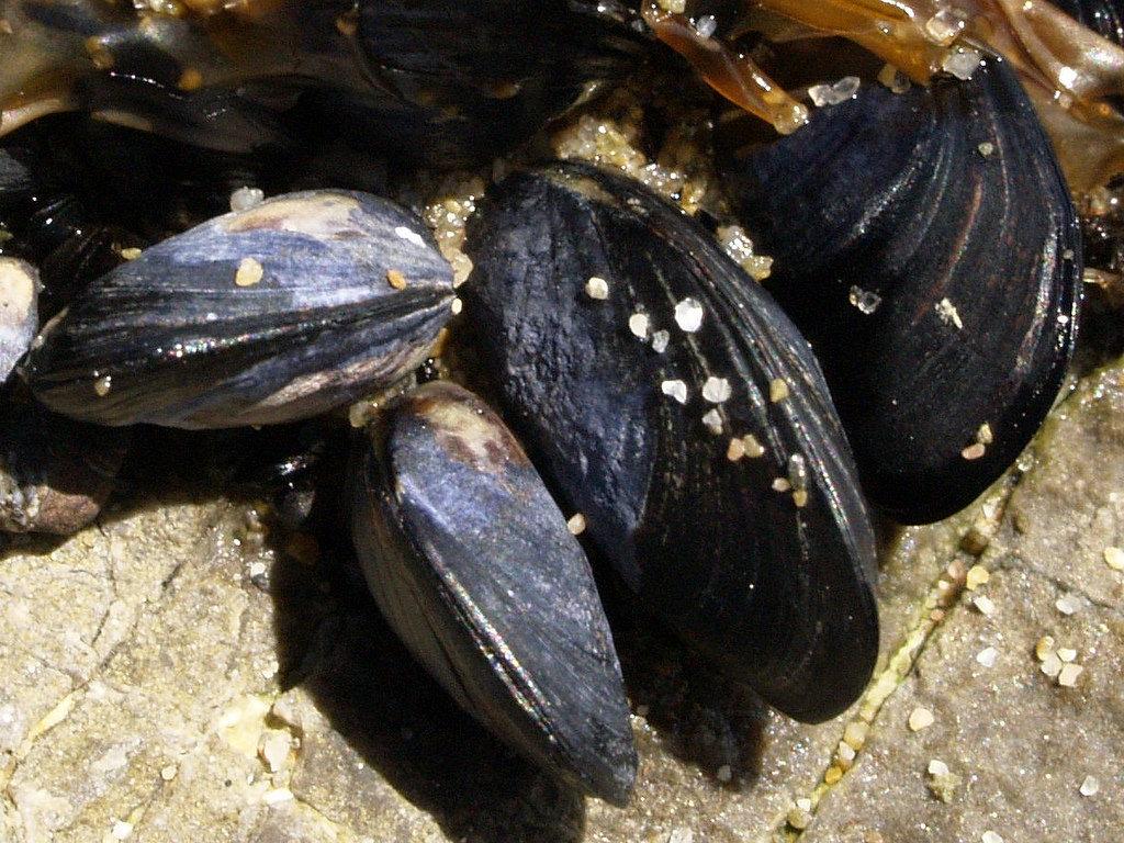 mediterranean_mussel