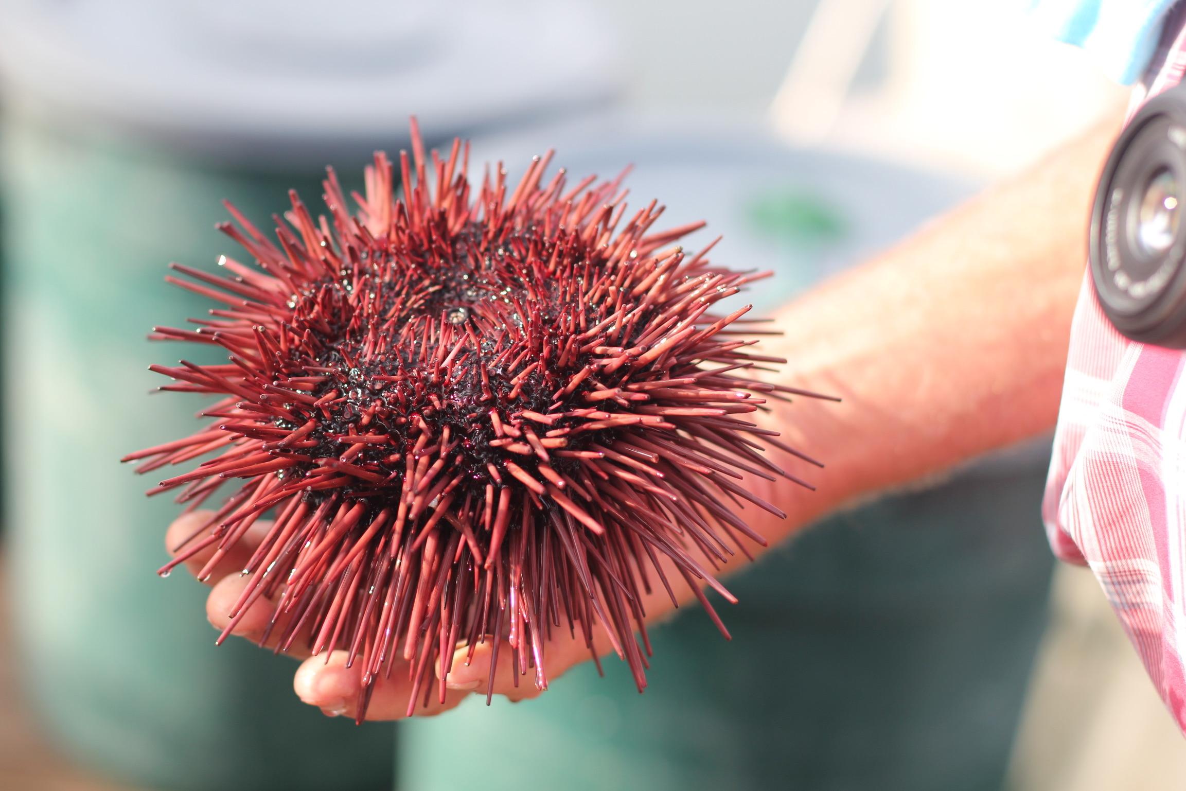 Red sea urchin up close.