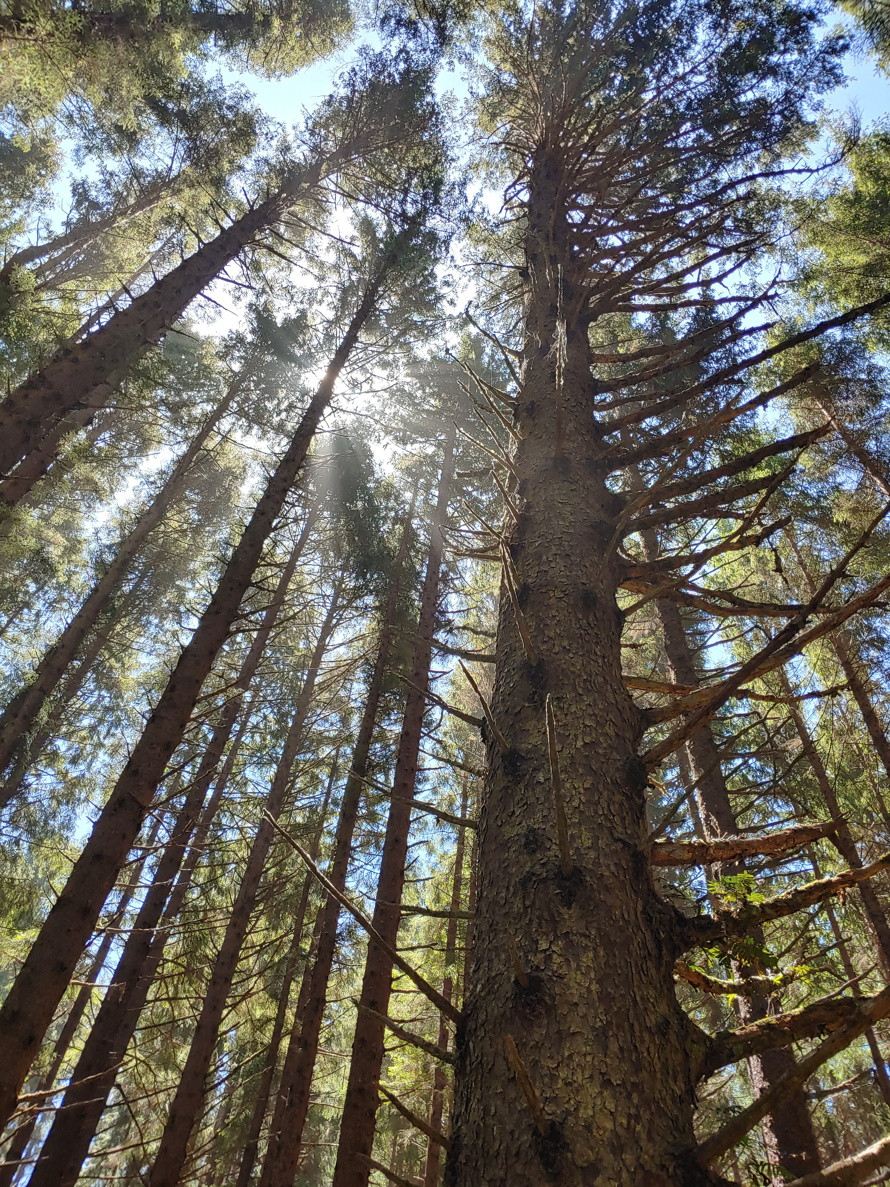 forest canopy viewed from the ground looking up