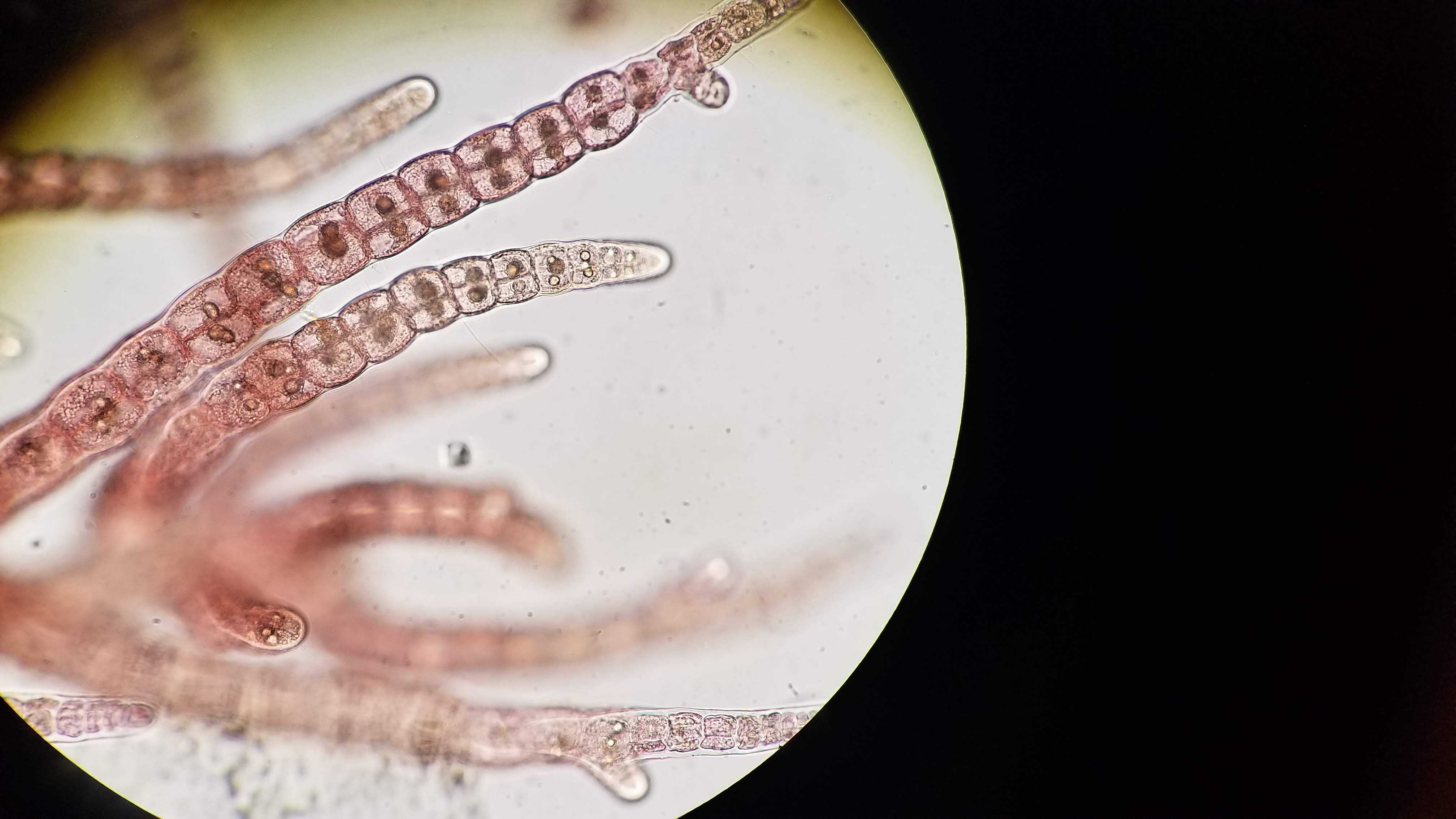 Asparagopsis