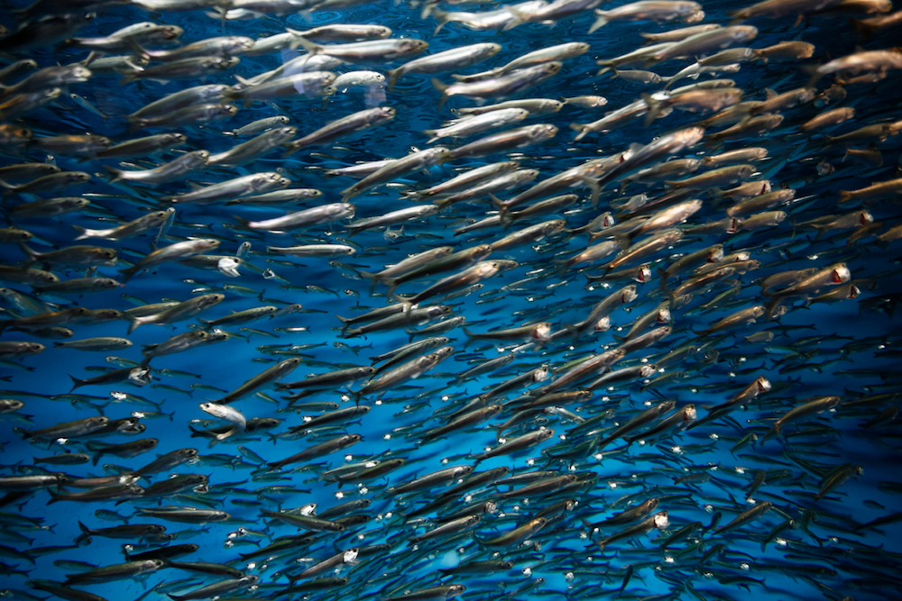 Gilberto Villasana/Shutterstock. A school of Pacific sardines - a species essential to making North America's Pacific Coast one of the most biodiverse in the world.