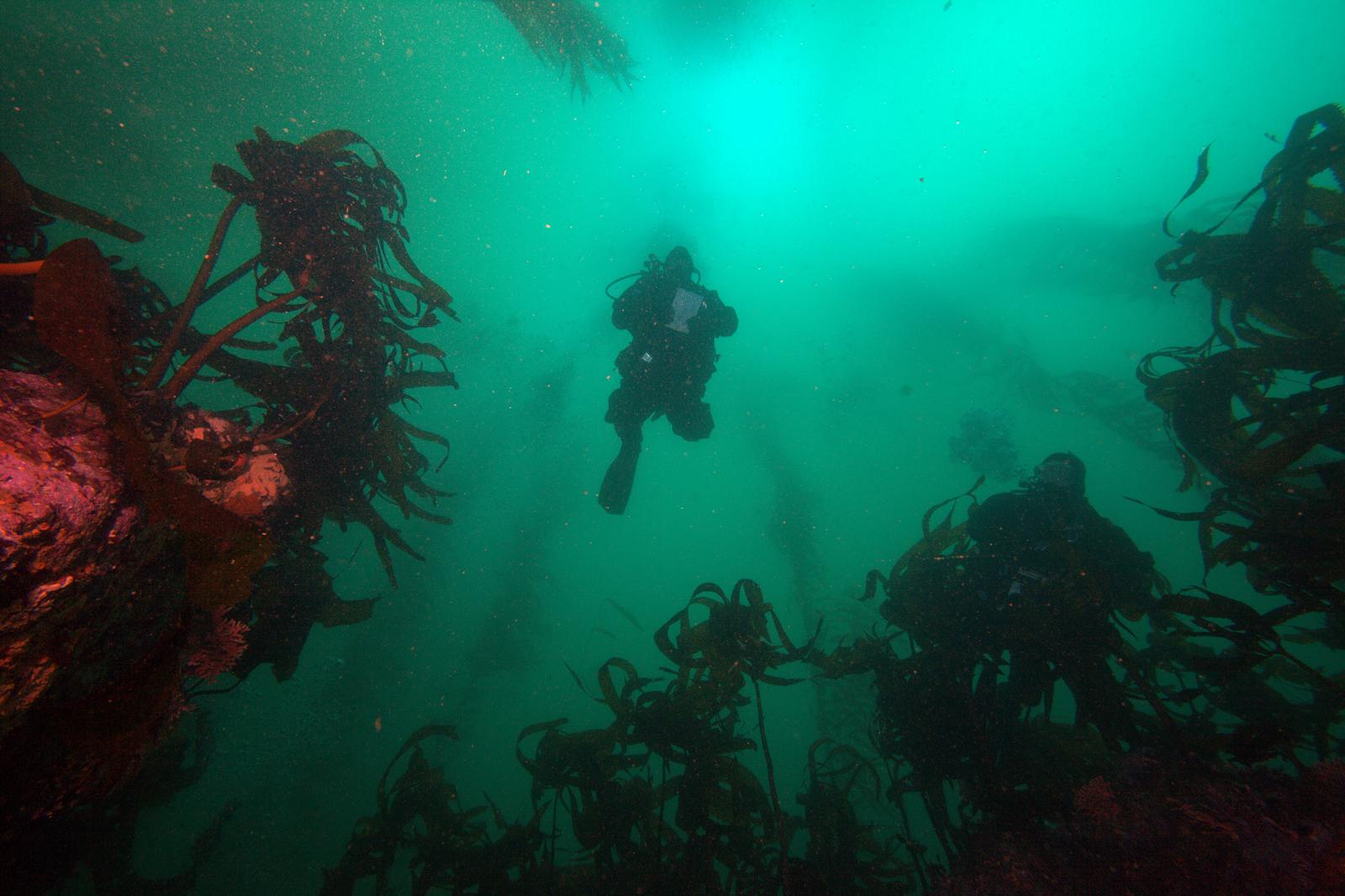 diver underwater kelp