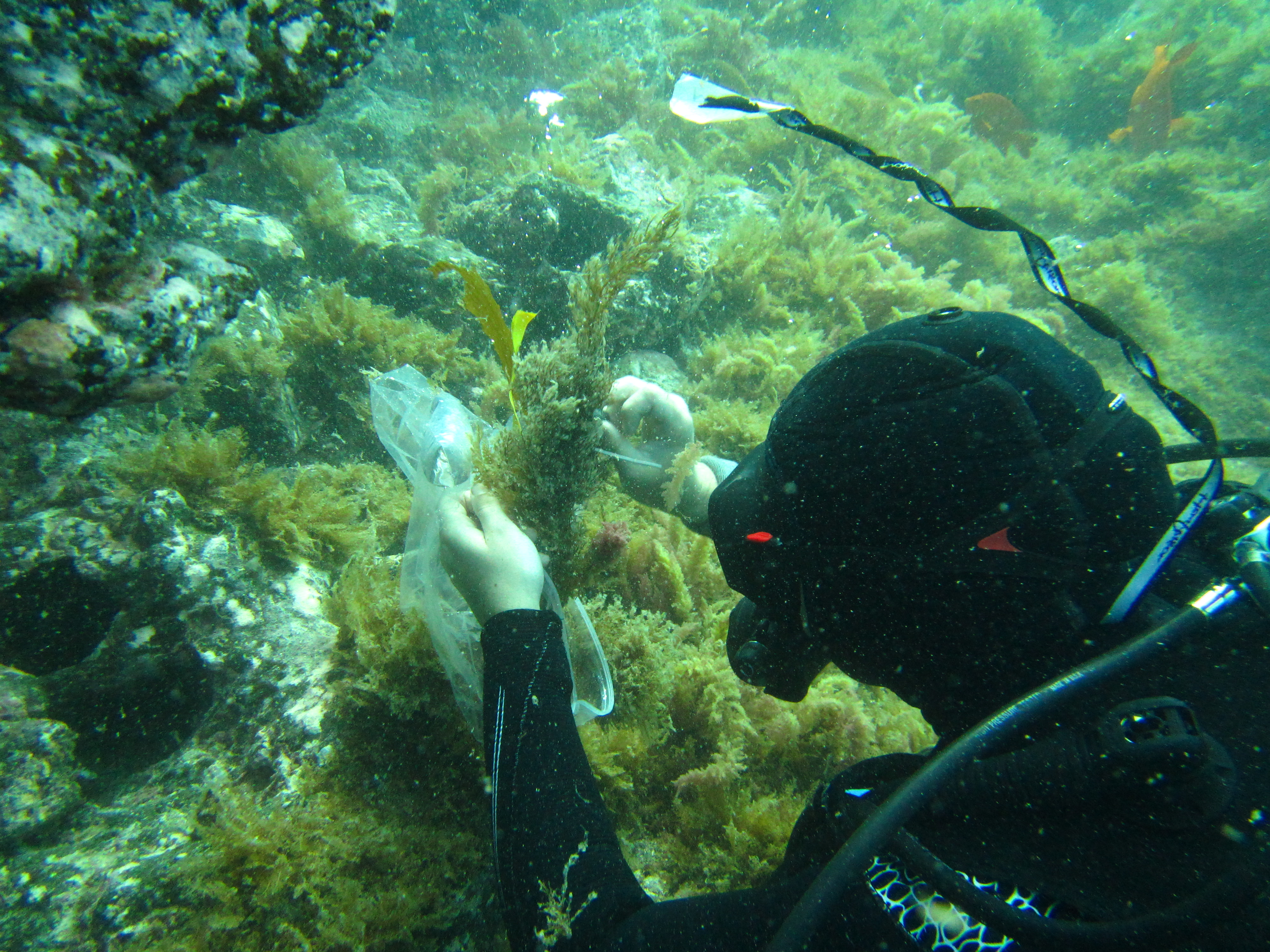 scuba diver putting a piece of Sargassum horneri in a plastic bag