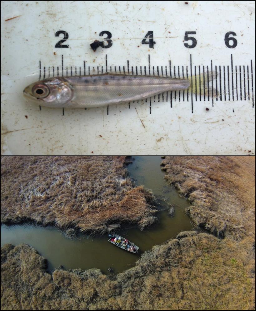 Juvenile Chinook salmon (top). Rush Ranch NERR (bottom)