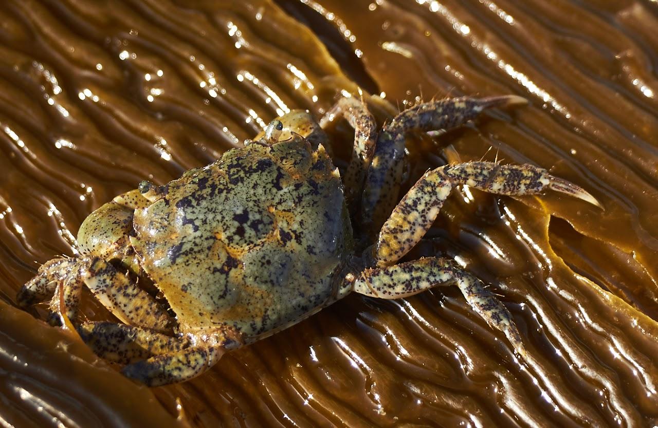 Hair shore crab.