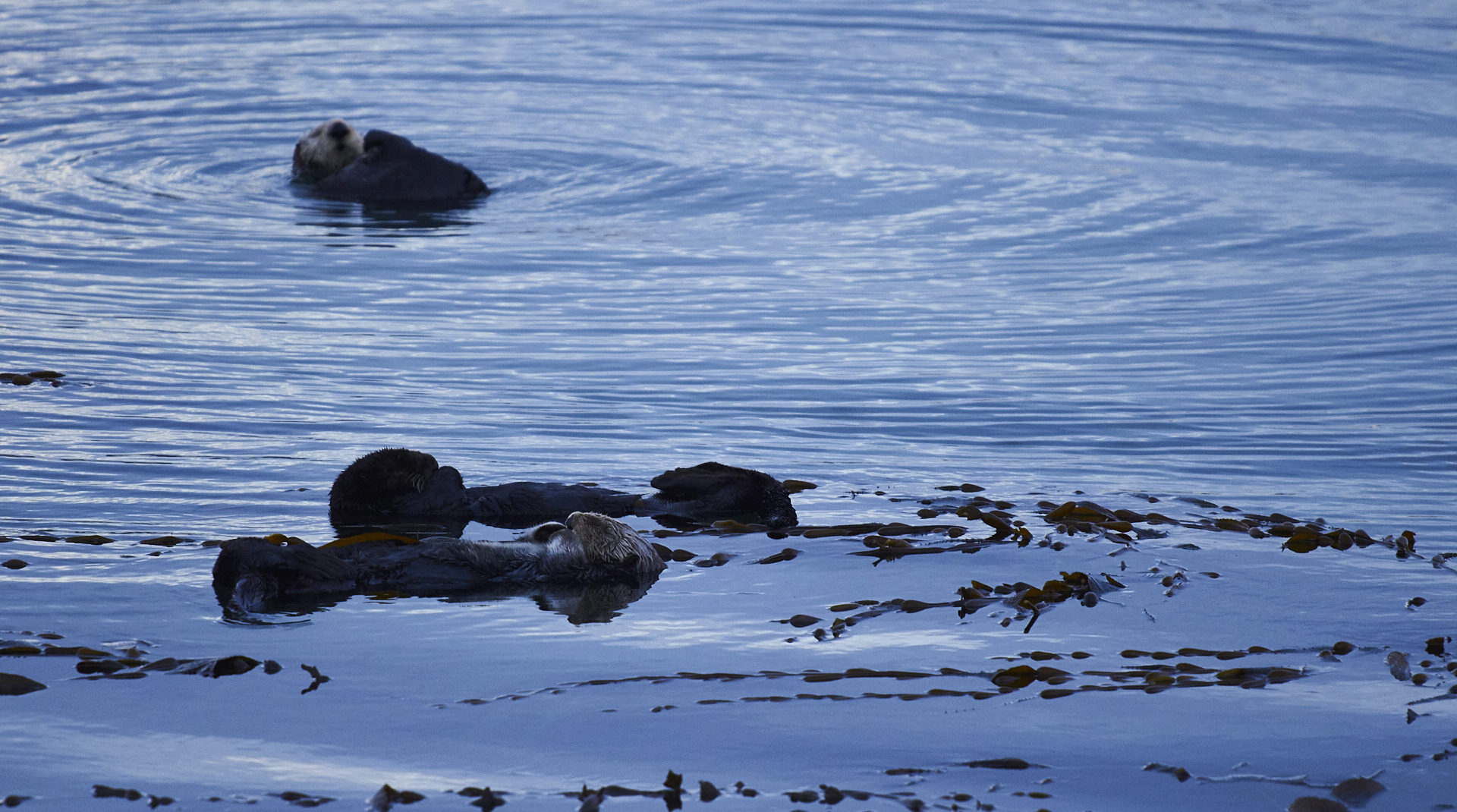 three sea otters float on blue water