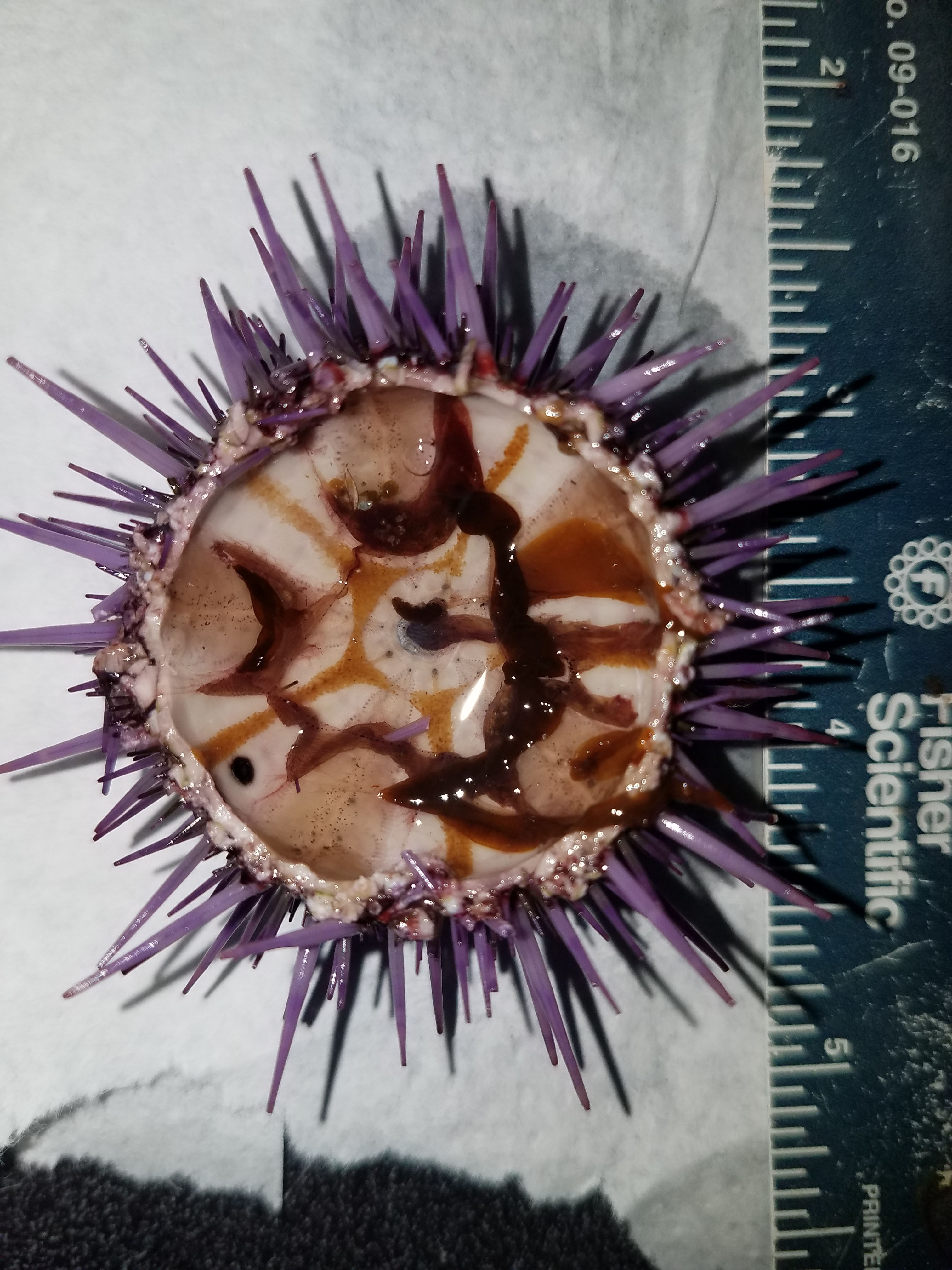 A typical barren urchin at the start of a 9-wk feeding experiment; miniscule gonads are thin orange streaks lining the aboral surface of the inner test.