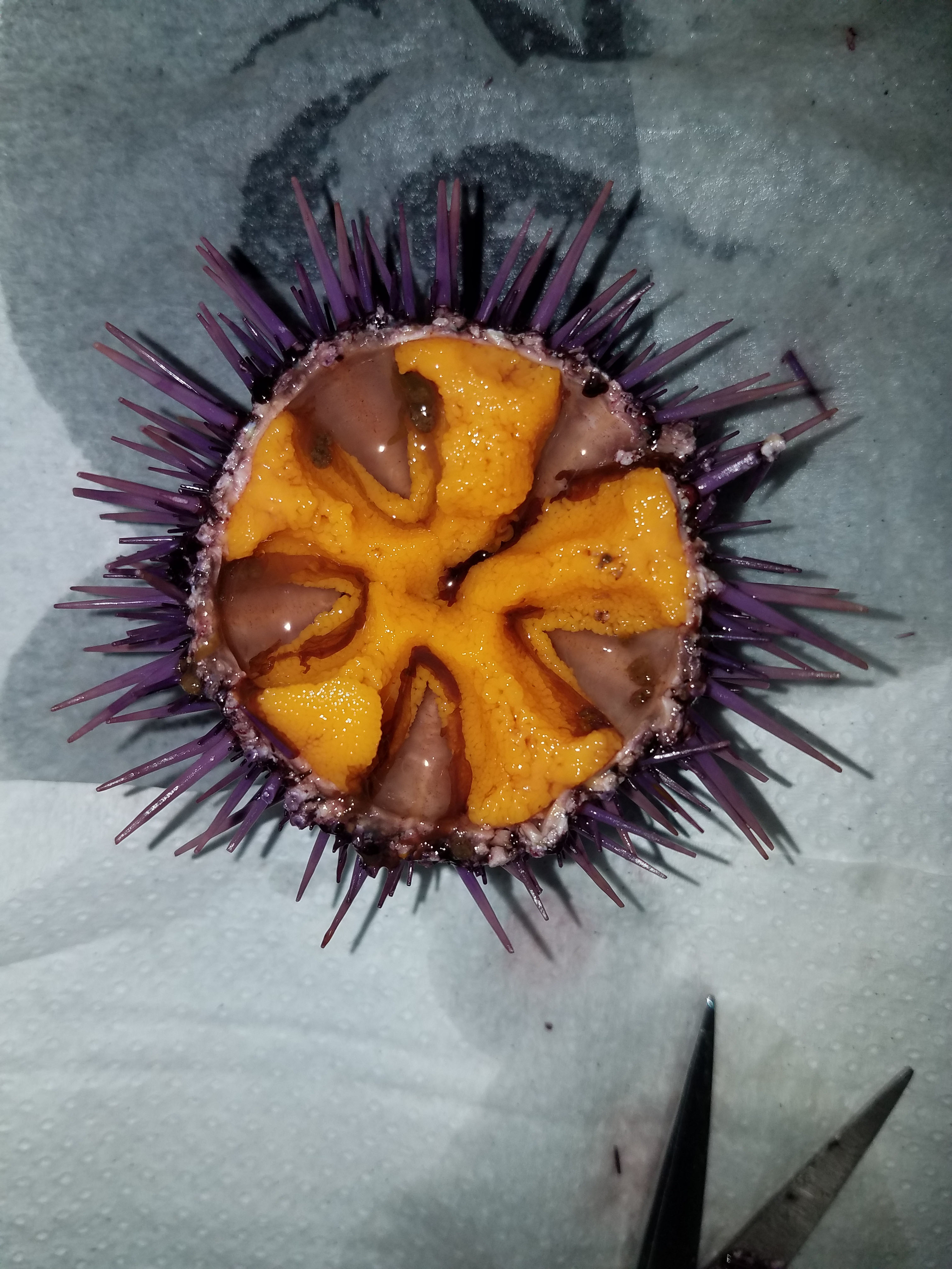 A typical urchin after 9 wk of feedingad libitumon Urchinomics feed; plump orange gonads (roe, uni) have developed to a marketable size.