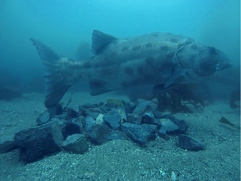 Giant sea bass on reef