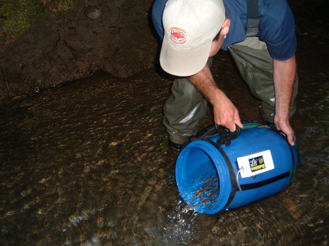 Ben White (US Army Corps of Engineers) releasing young-of-the-year coho into Gray Creek.