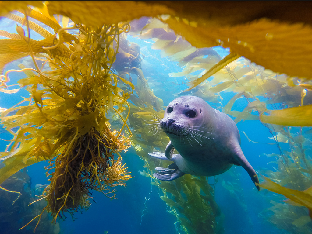 Harbor seal in South Laguna giant kelp forest. Photo credit: Alex Cowdell
