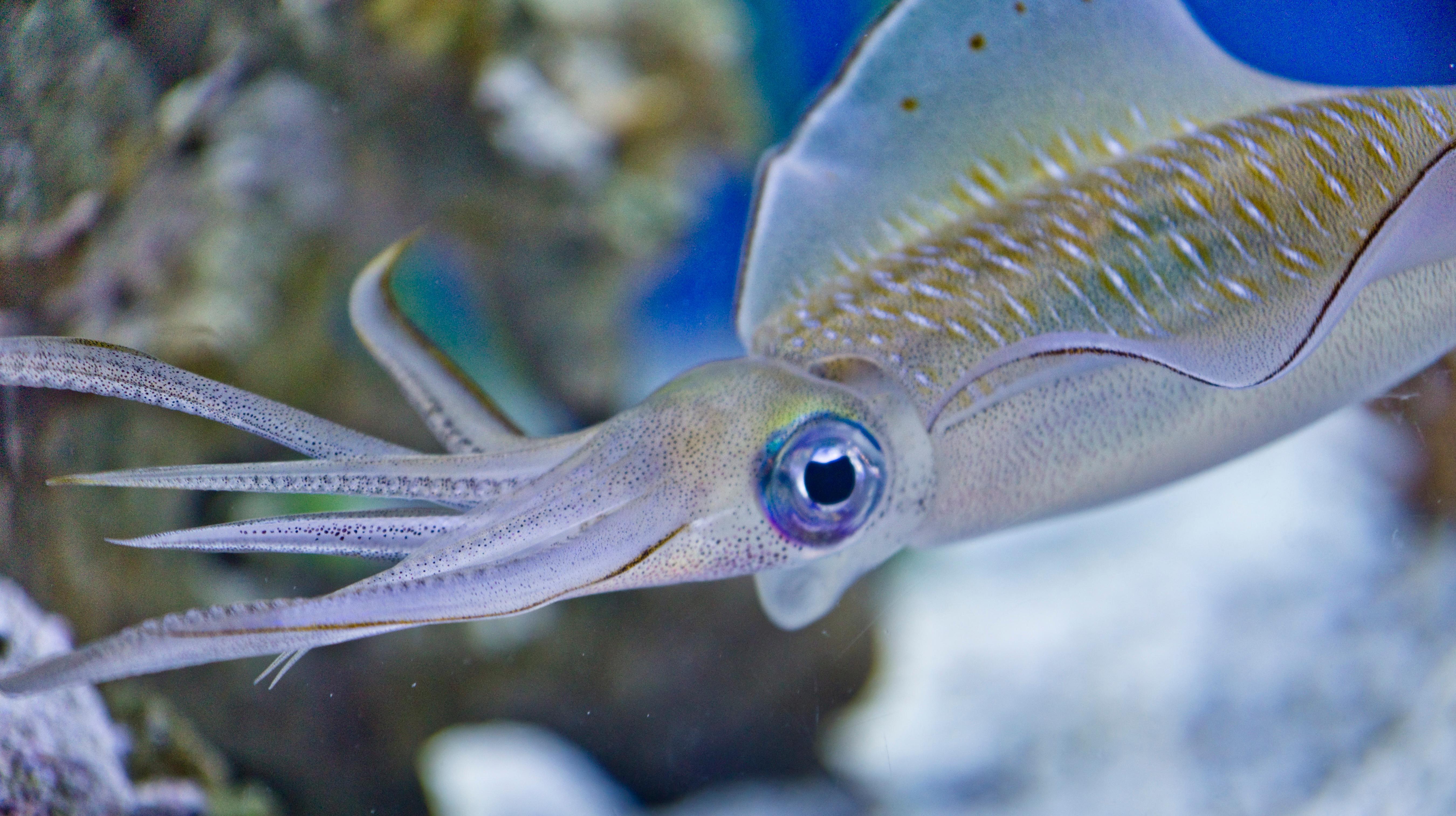Market Squid