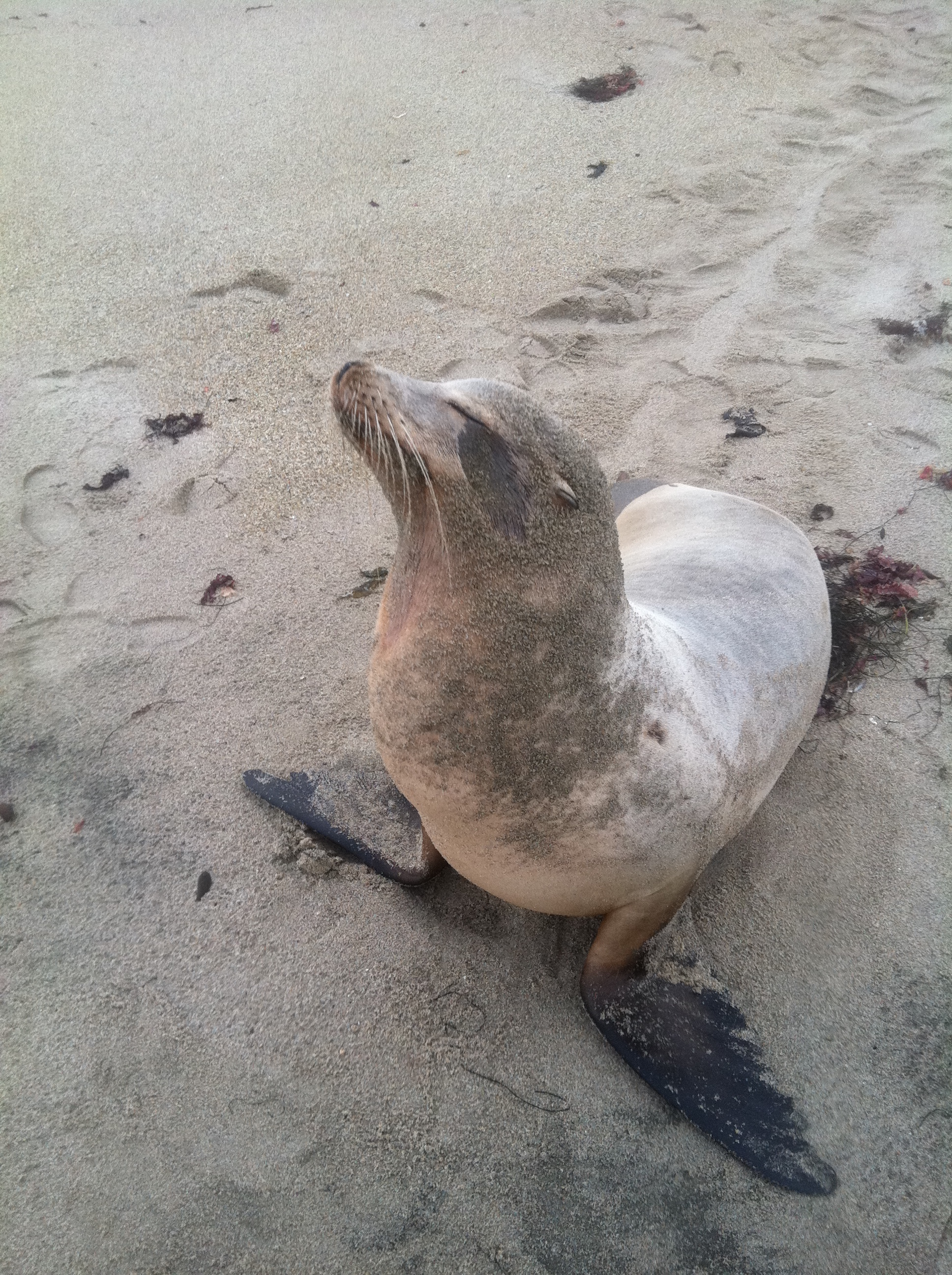 sea lion affected by domoic acid poisioning