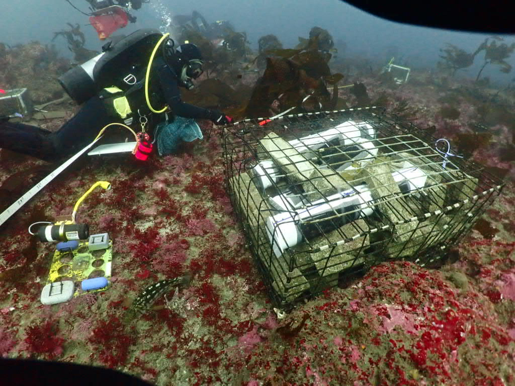 underwater divers place abalone