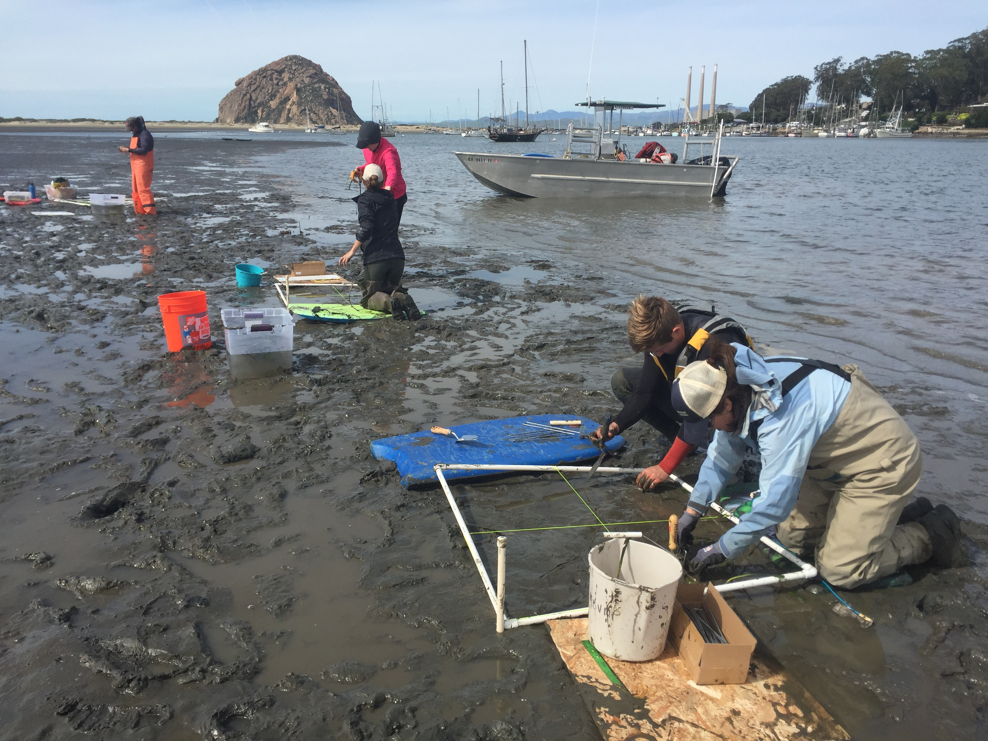 group of people plants eelgrass in mud flat, with water and rock in background