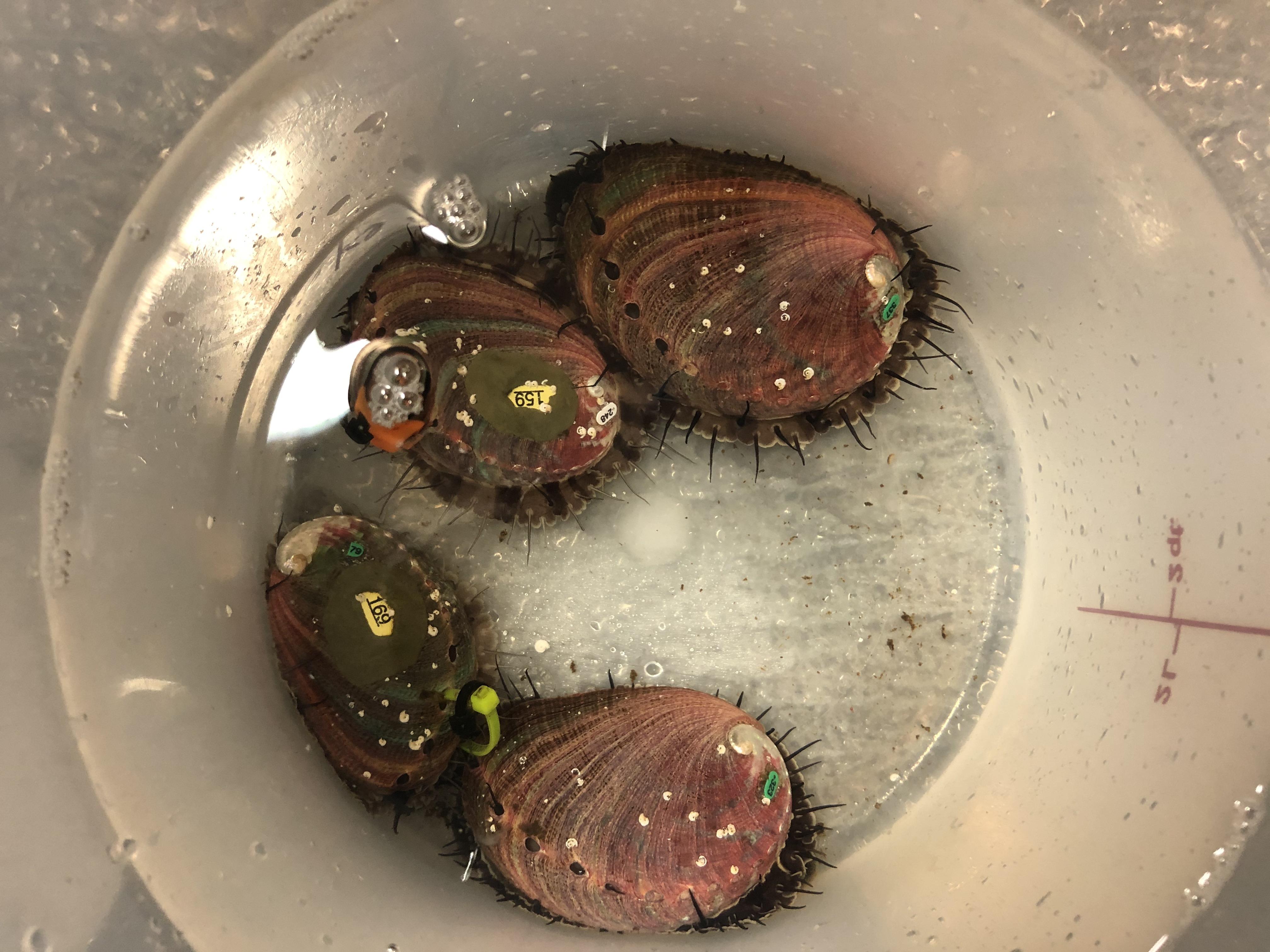 Aquaculture abalone