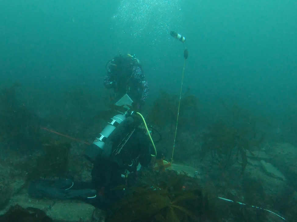 two scuba divers inspecting and stocking an abalone enclosure