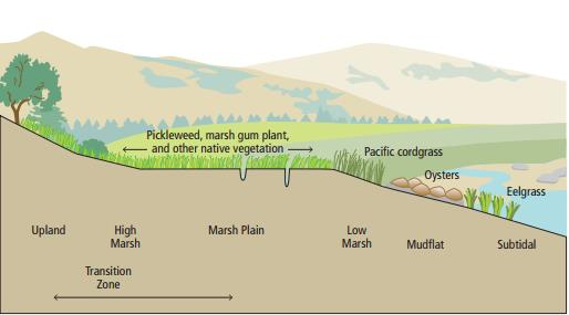 A figure illustrating different natural ecosystems (wetlands, oyster reefs, and eelgrass beds) that can function as living shorelines.  Figure courtesy of the San Francisco Estuary Institute.