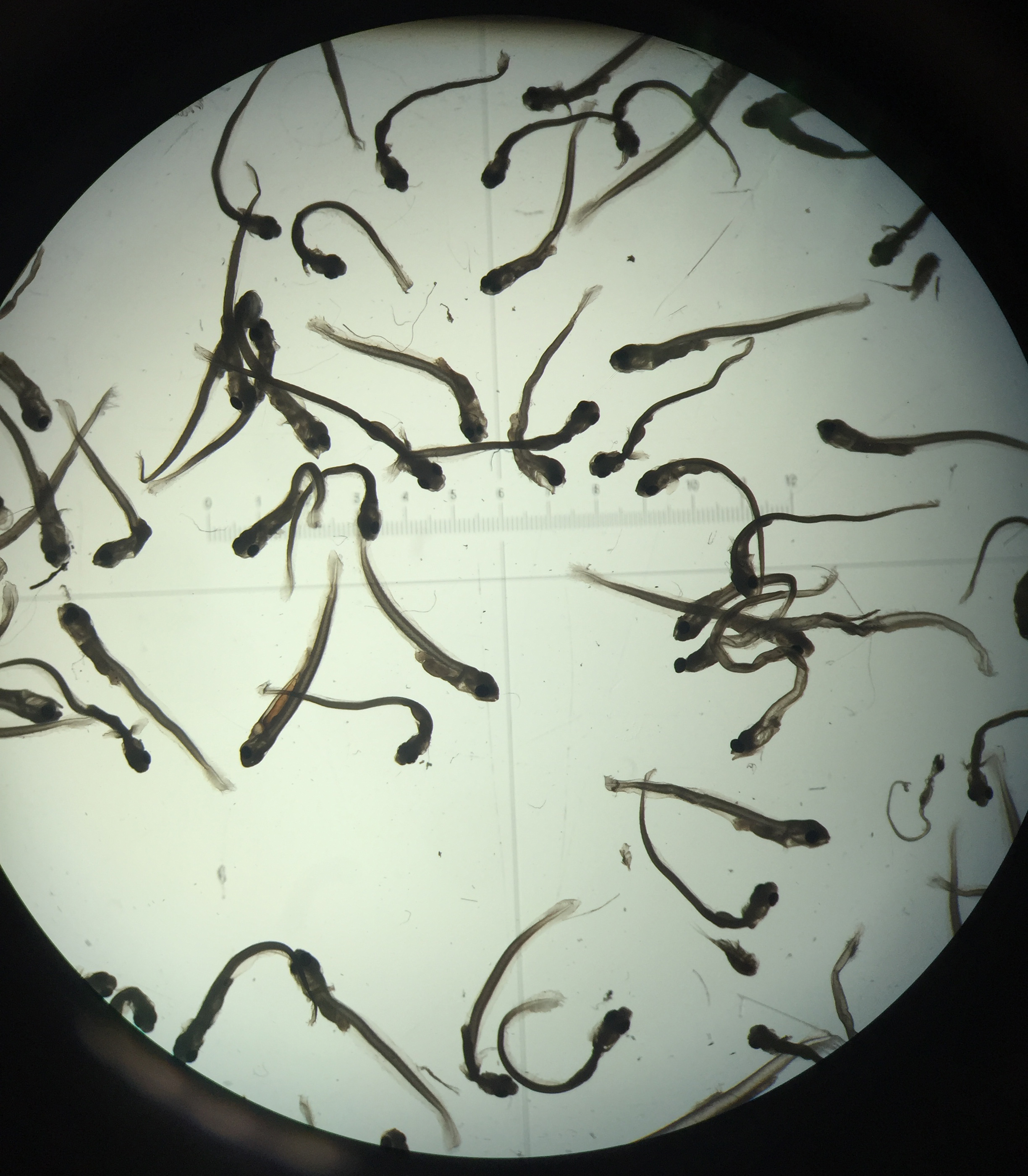 Microscope image of mixed larval fishes from one sample.