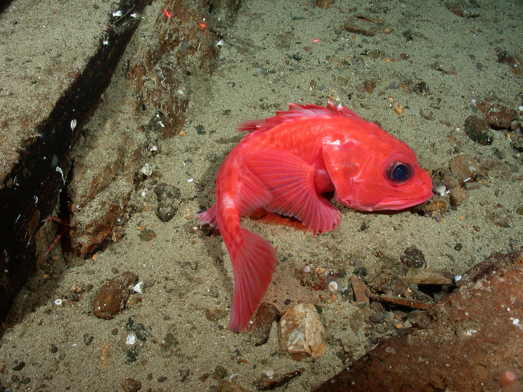 thornyhead rockfish on substrate