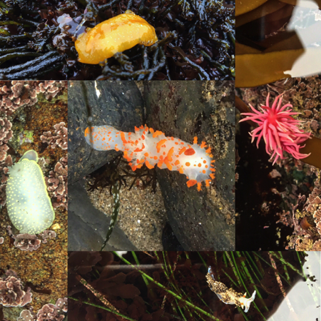 Nudibranchs along the California Coast