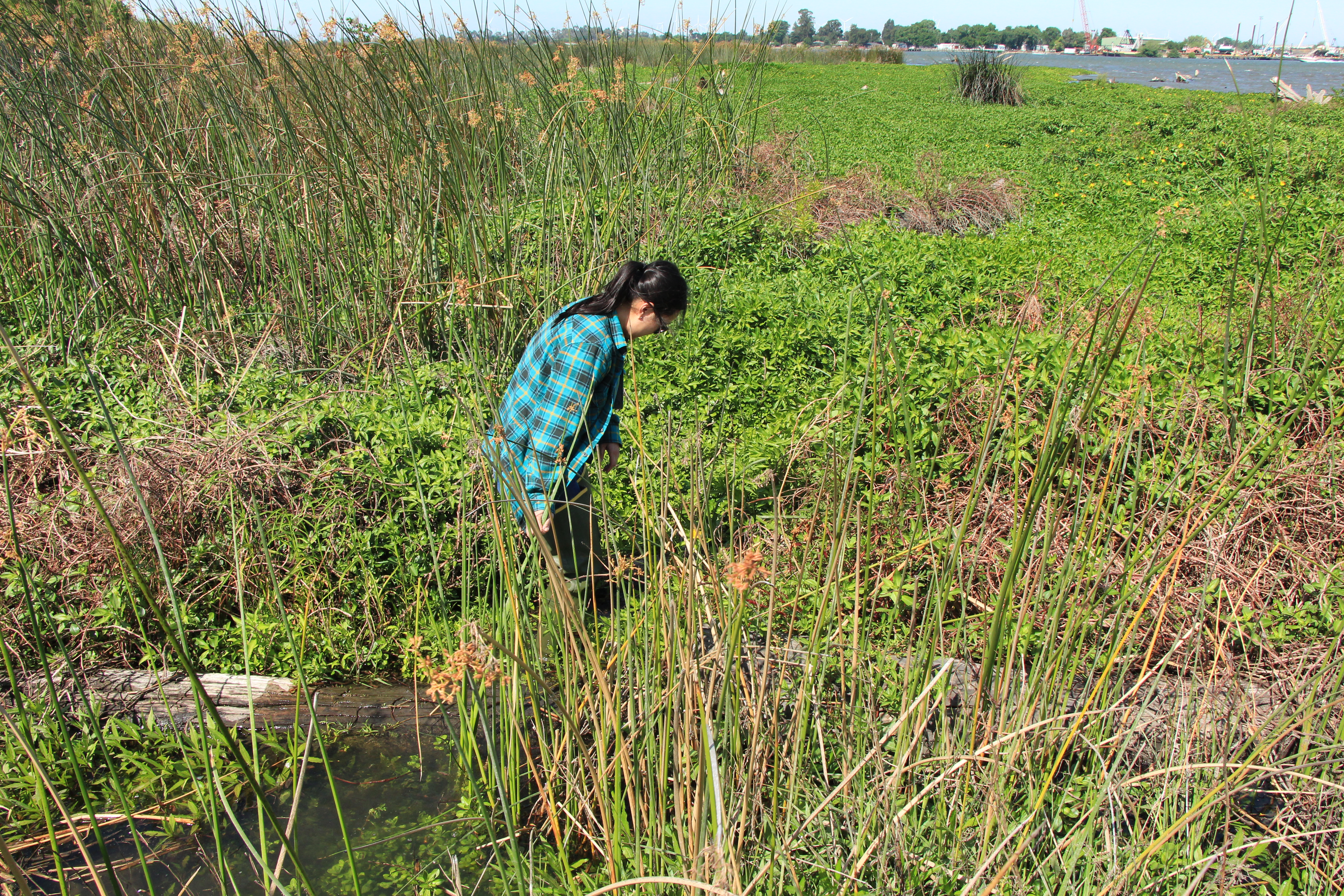 State Fellow Monica Oey searches for specimens in the Delta.