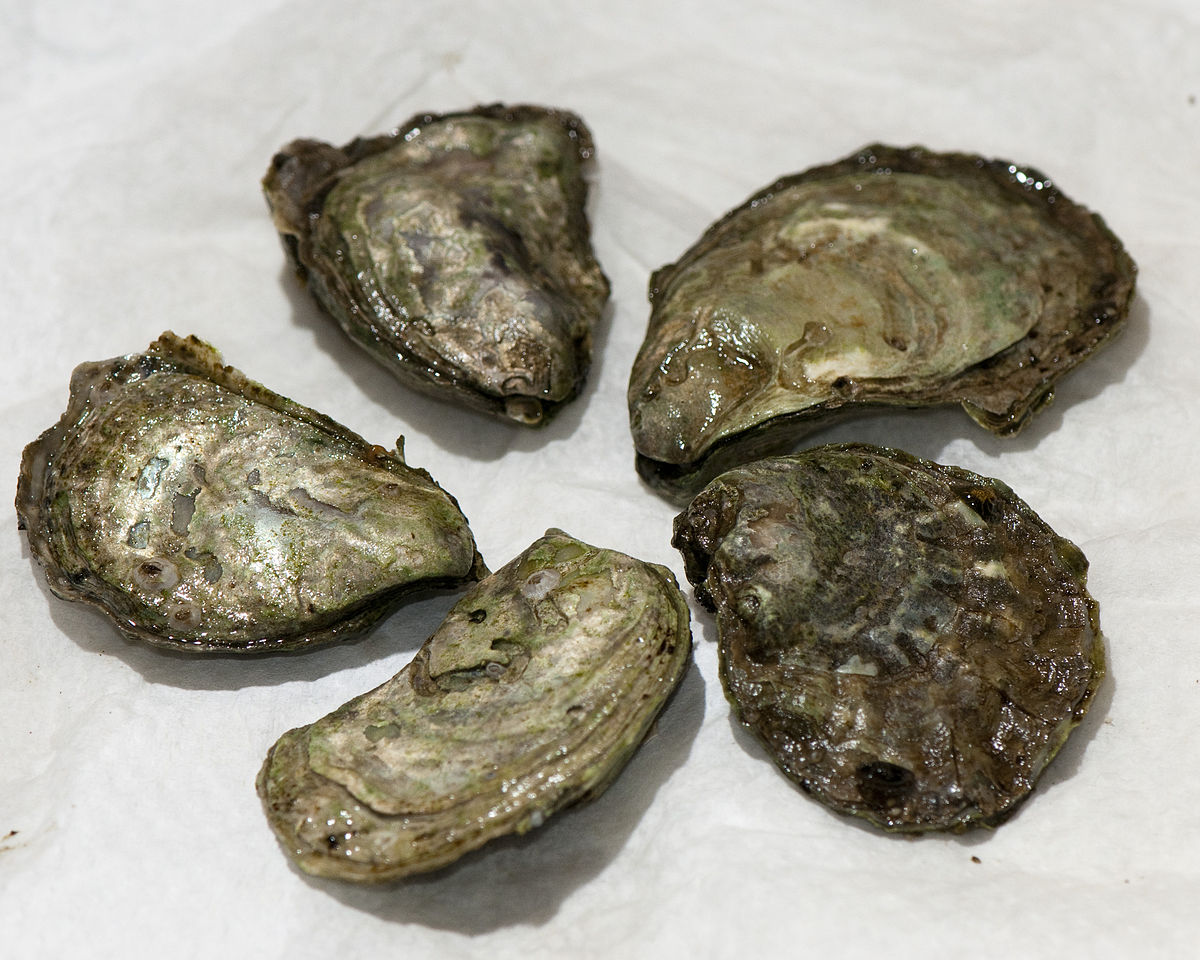 olympia_oyster
