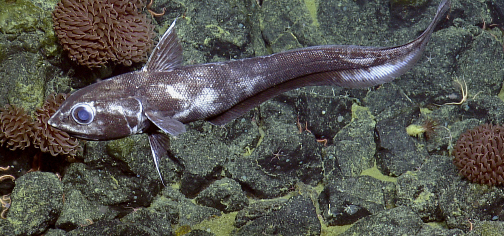 Pacific grenadier swimming above rock substrate