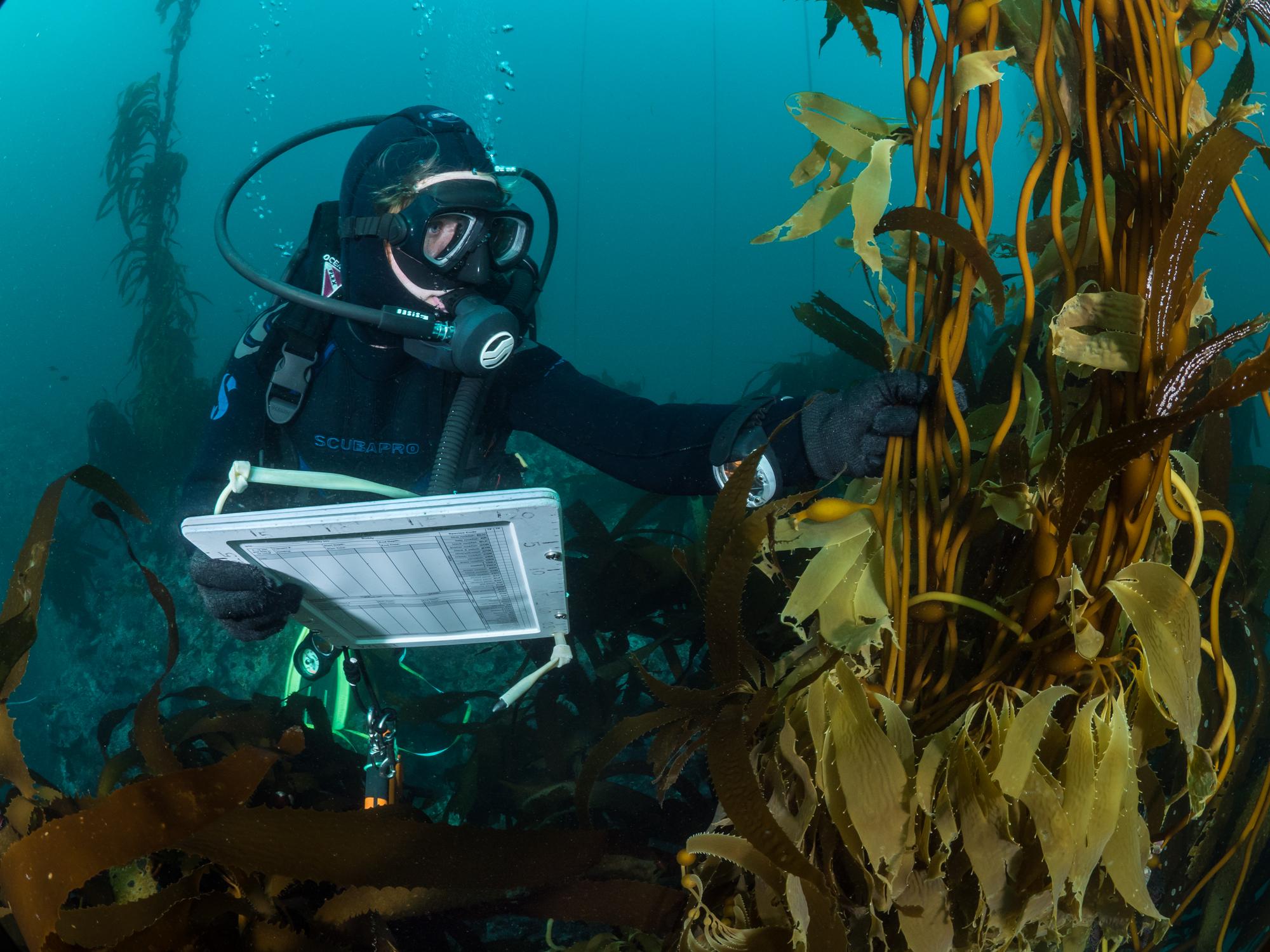 A scuba diver examines giant kelp