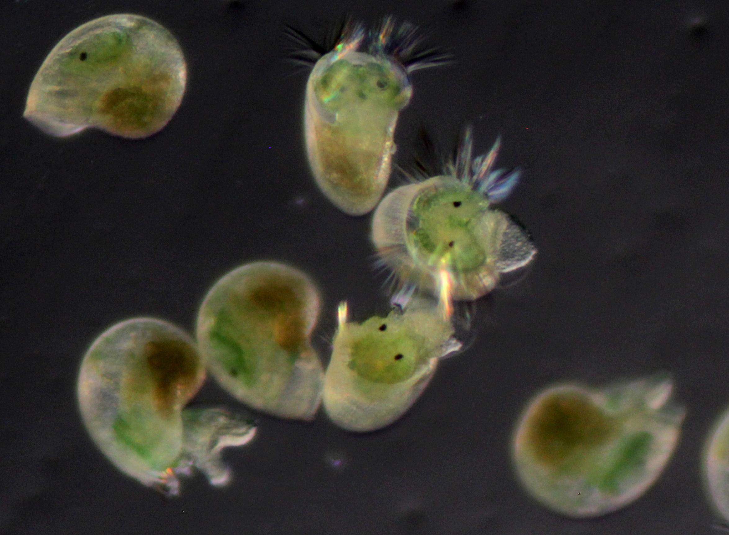 Microscopic abalone larvae