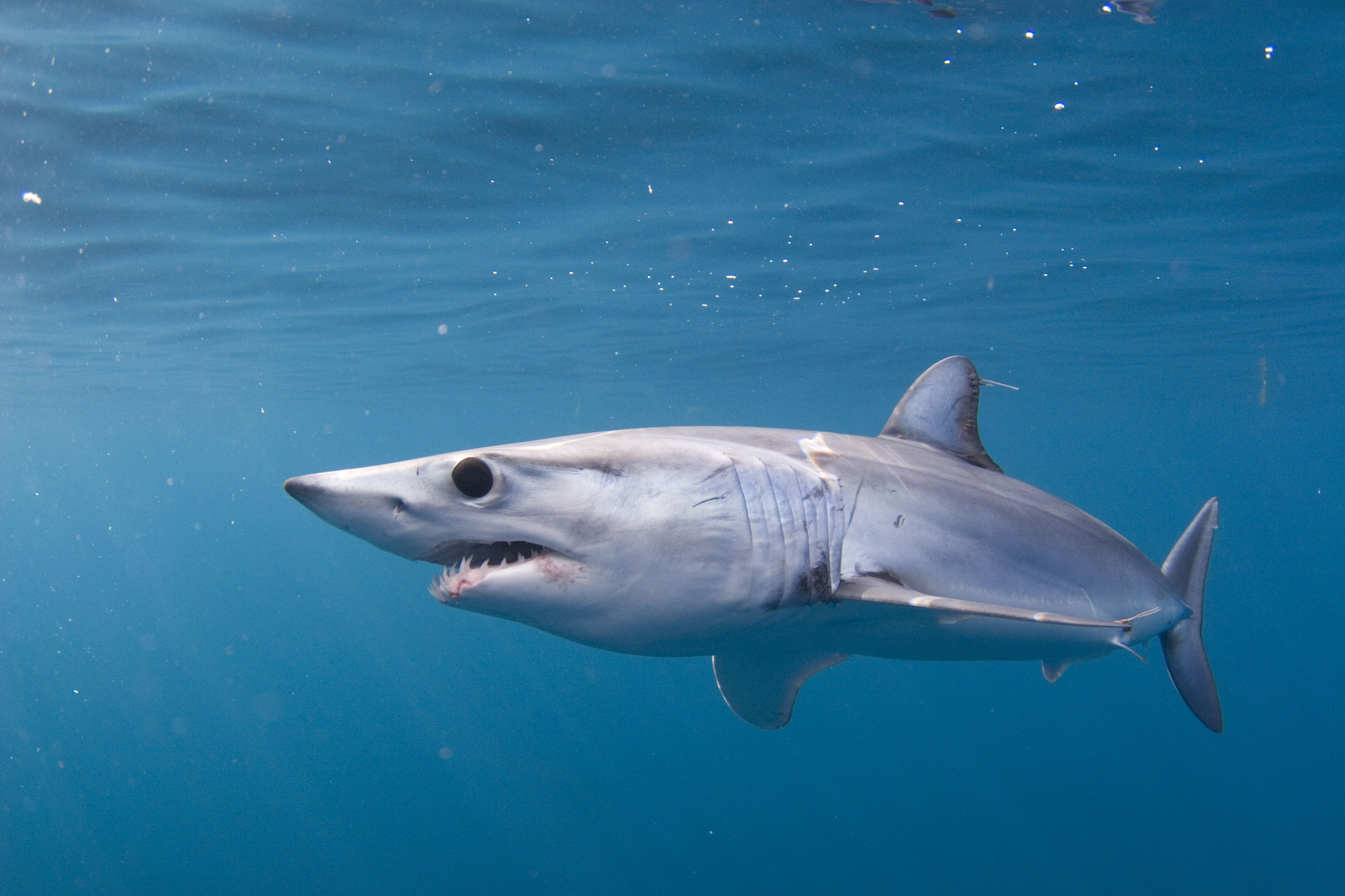 Pacific Shortfin Mako Shark
