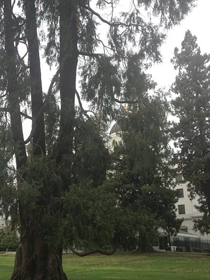 Redwoods in Sacramento