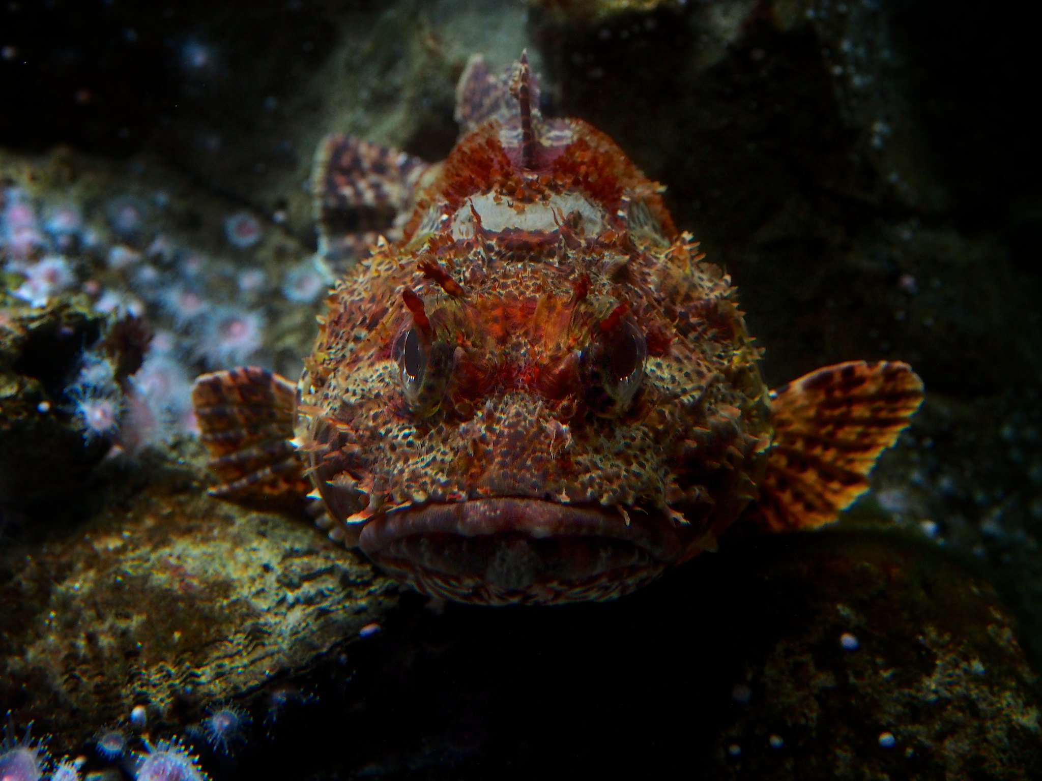 scorpionfish resting on substrate