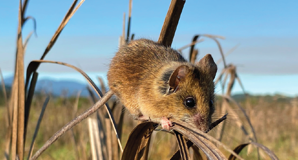 A salt marsh harvest mouse perched on alkali bulrush in Marin County. Credit: Katherine Smith